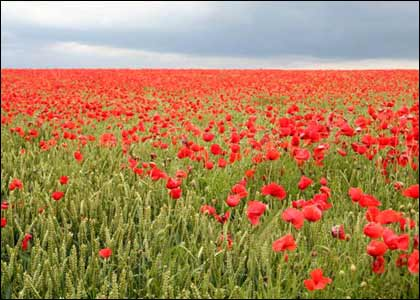 Red poppies are a symbol of consolation since world war i poppies