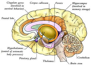diagram of inside of brain samara botane online: aromatic apothecary - aromatherapy ... #5